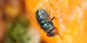 4-cara-alami-untuk-usir-lalat-buah