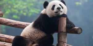 panda-pura-pura-hamil-agar-bisa-dapat-makan-lebih-banyak