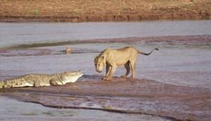 Buaya dan singa