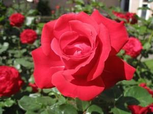 132580-mawar