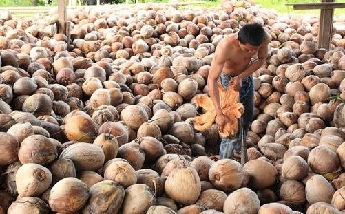 Cara Pengolahan Kelapa menjadi Kopra