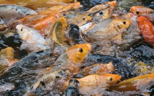 Hasil gambar untuk Budidaya Ikan Nila