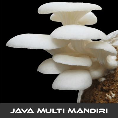 Karakteristik Jamur Tiram